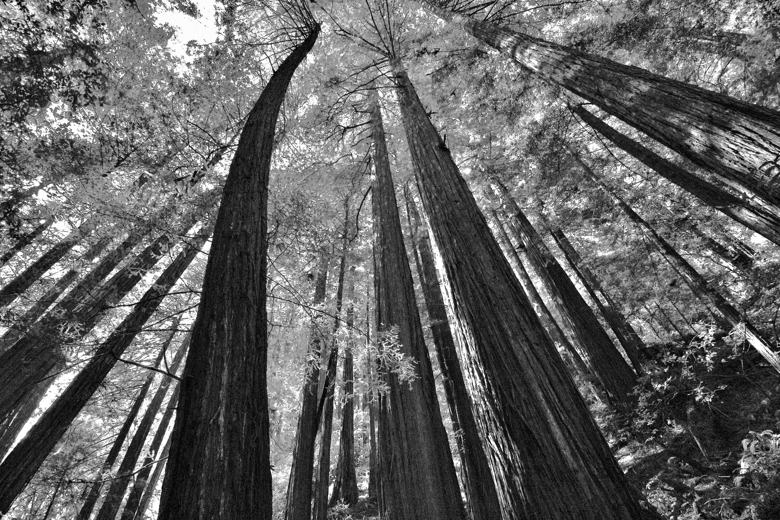 Redwood trees at the Muir Woods National Monument